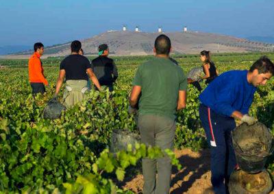 Vendimia en La Ruta del Vino de La Mancha